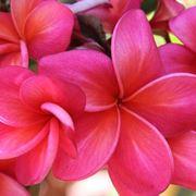 frangipane fiore