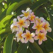 frangipane fiore significato