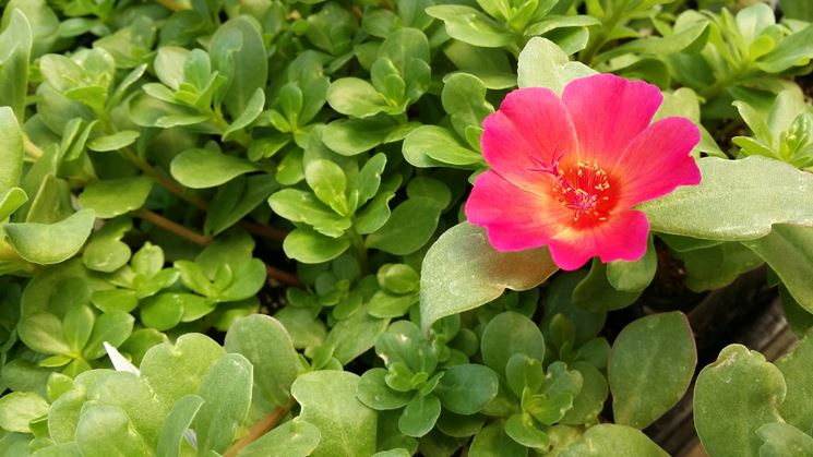 Fiore di portulaca
