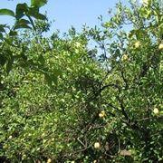 Limoni da potare