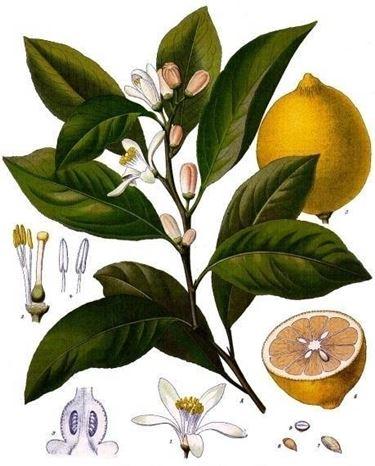 Tutte le parti del limone