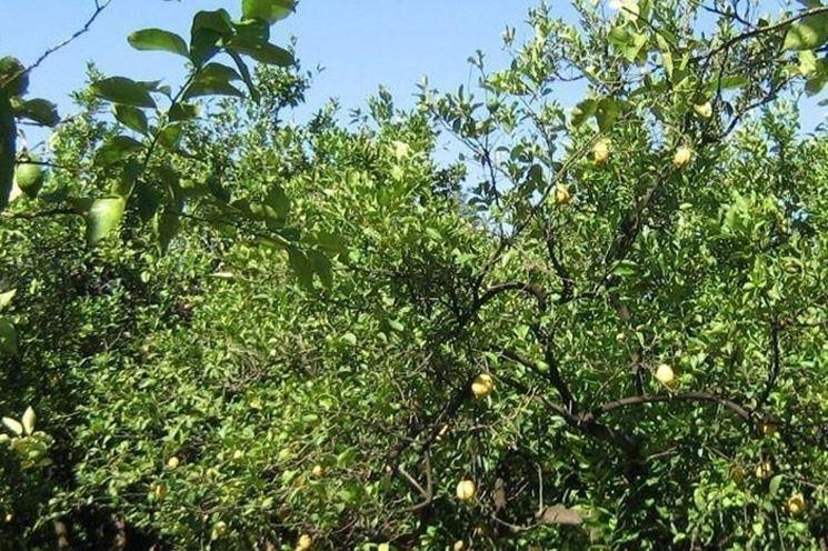 Limone potatura piante da giardino potatura del limone for Potatura limoni in vaso