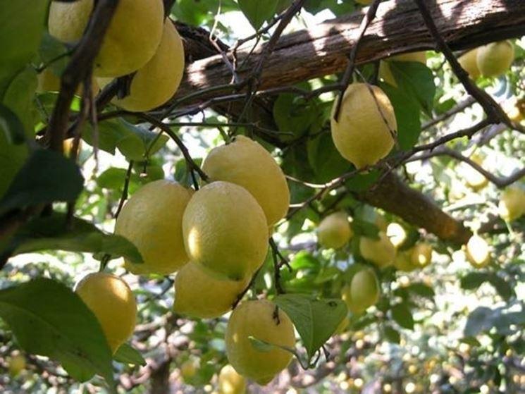 Un limone con molti frutti