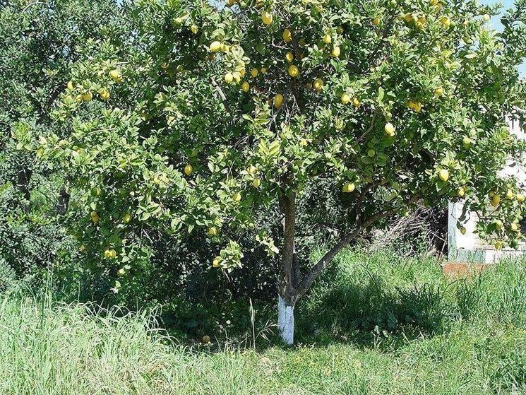 Una pianta di limone vecchia da potare