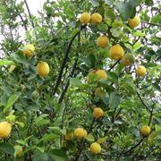 periodo potatura limone