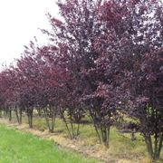 Particolare della fioritura di Prunus cerasifera