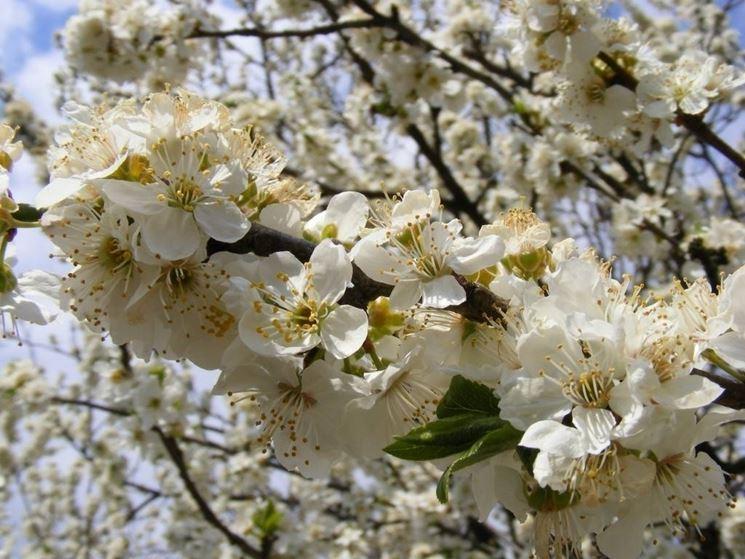 Prunus cerasifera variet� a fiori bianchi