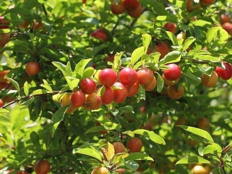 Frutti di Prunus cerasifera