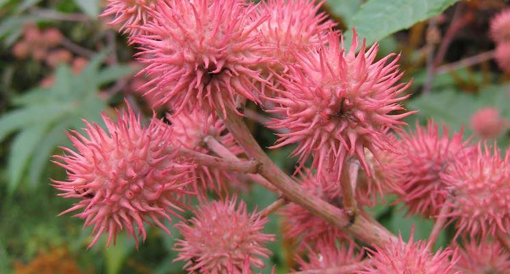 Ricinus communis carmencita pink