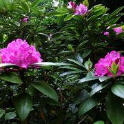 Cespuglio di rododendro