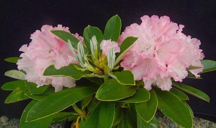 Rododendro fiori