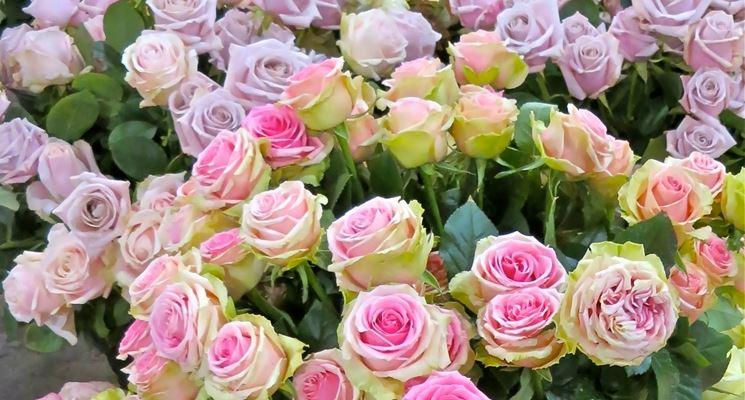 Rose inglesi piante da giardino rose inglesi caratteristiche - Rose coltivazione in giardino ...