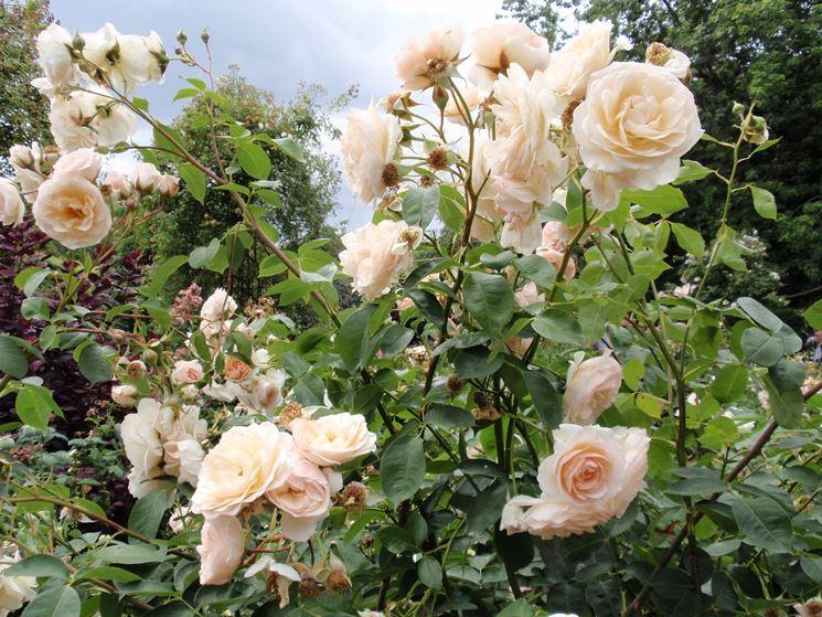Rose inglesi piante da giardino rose inglesi for Rose da giardino