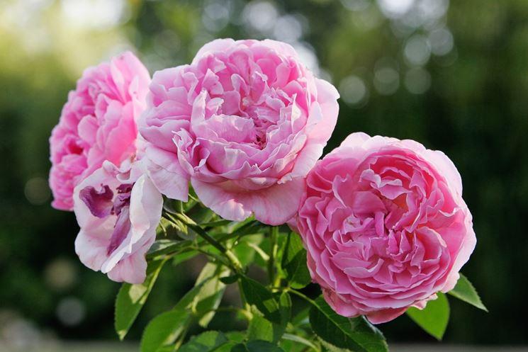 David Austin e rose inglesi