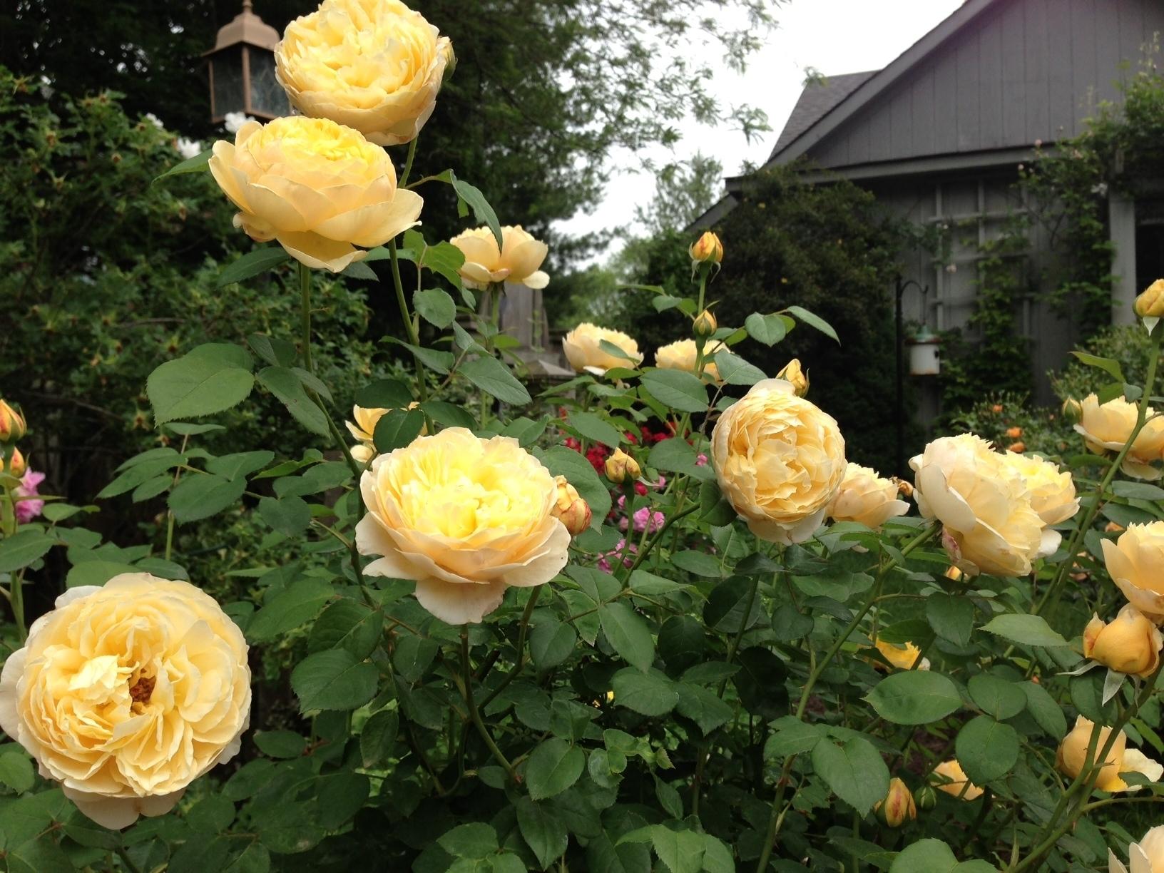 Rose Da Taglio Rifiorenti rose inglesi - piante da giardino - rose inglesi caratteristiche
