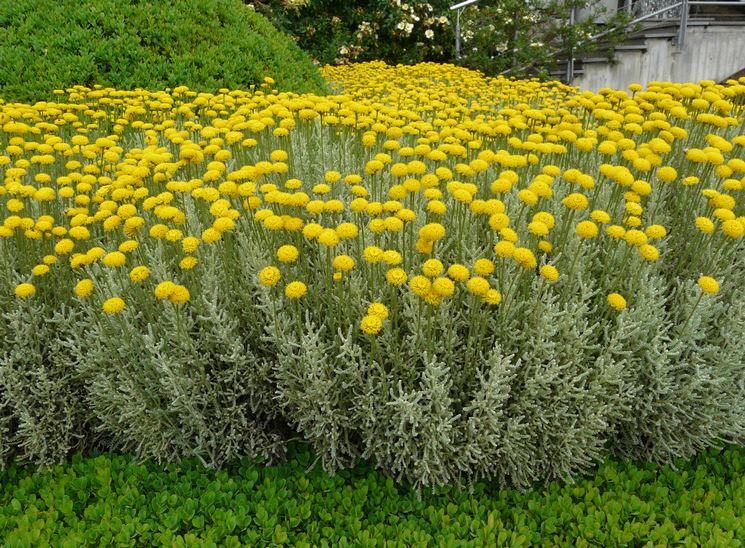 Santolina fiore