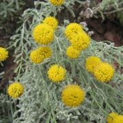 santolina pianta