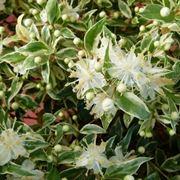 Piante da giardino for Cespugli fioriti perenni da giardino