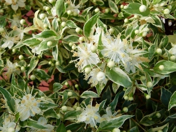 Sempreverdi da giardino piante da giardino sempreverdi - Alberi da giardino sempreverdi da ombra ...