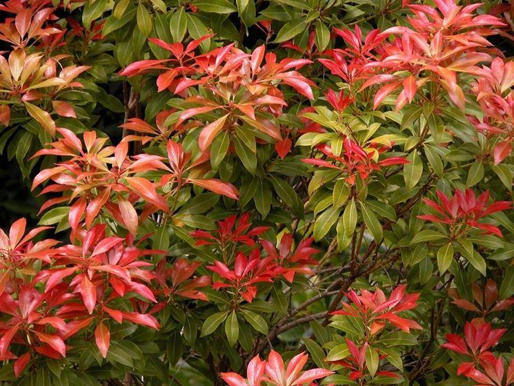 Sempreverdi da giardino piante da giardino sempreverdi for Piante basso fusto da giardino