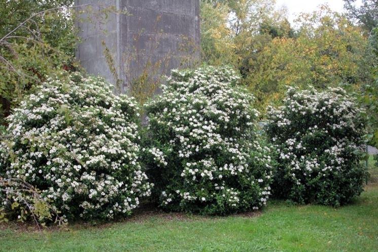 Sempreverdi da giardino piante da giardino sempreverdi for Piante fiorite perenni da esterno