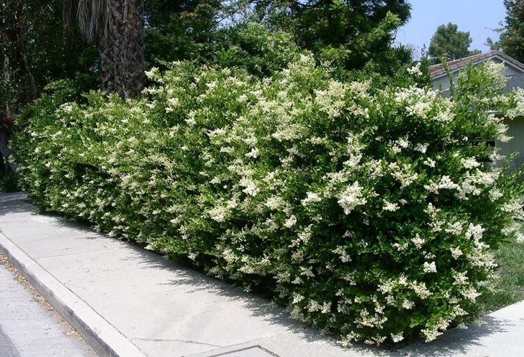 Sempreverdi da giardino piante da giardino sempreverdi for Piante da cespuglio