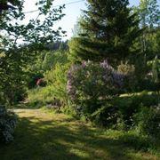 Sempreverdi da giardino piante da giardino sempreverdi for Alberi sempreverdi da ombra
