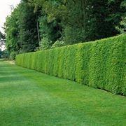 Sempreverdi da giardino piante da giardino sempreverdi for Siepi da giardino sempreverdi
