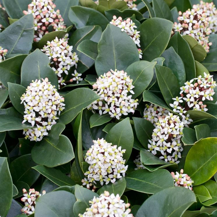 skimmia fiorita
