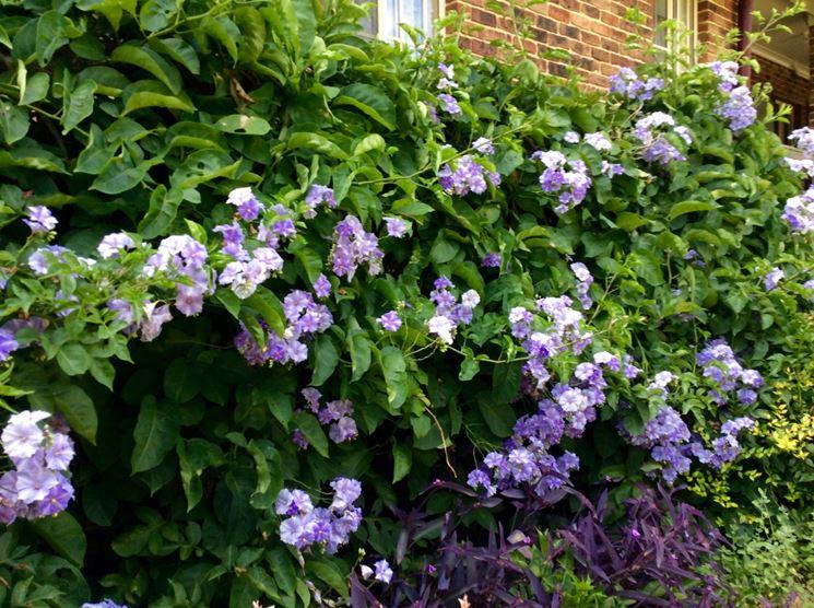 Solanum wendlandii