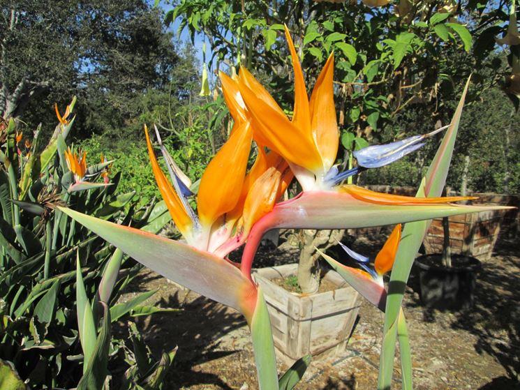 Particolare fiore strelitzia