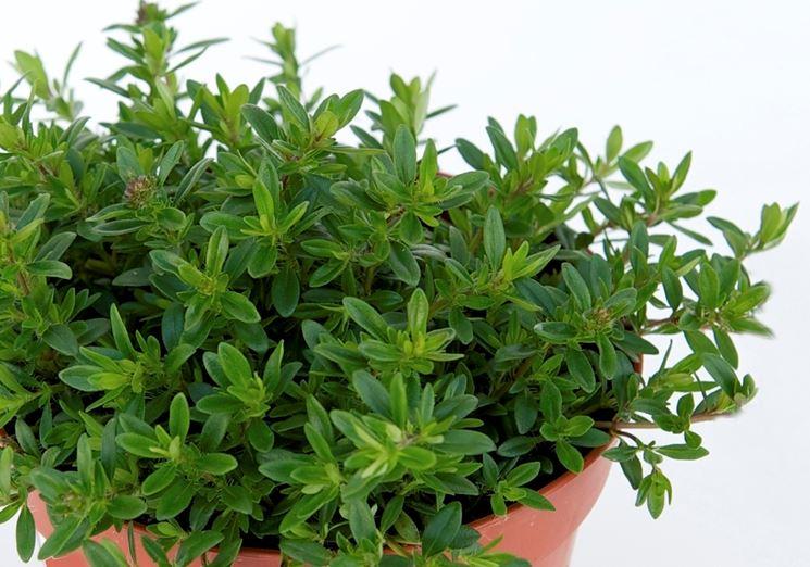 Timo - Piante da Giardino - Tymus vulgaris