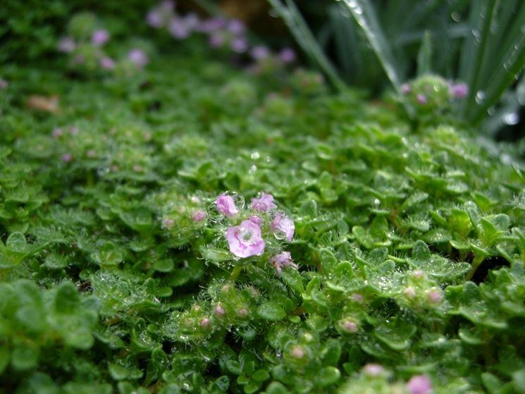 Timo piante da giardino tymus vulgaris - Piante aromatiche da giardino ...