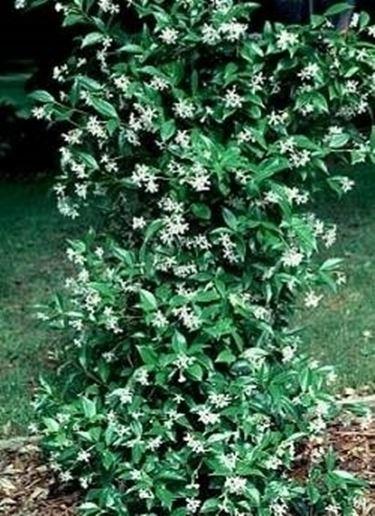 Vasi per trachelospermum piante da giardino for Piante grandi da giardino