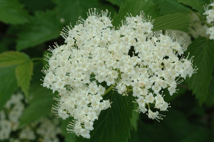 Viburno fioritura