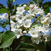 fiore viburnum tinus