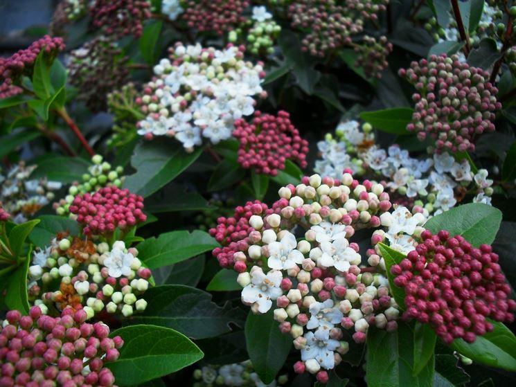 fiore iburnum tinus<p />