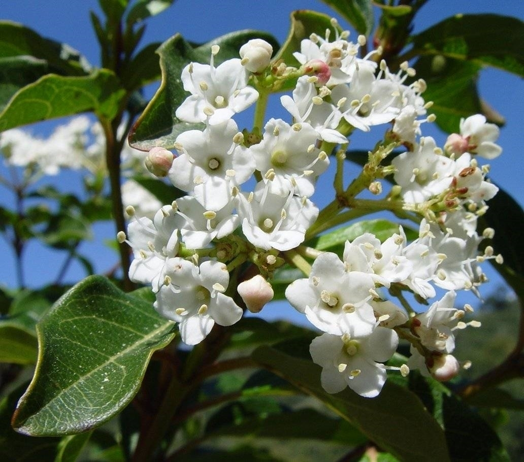 viburnum tinus - Piante da Giardino - viburno