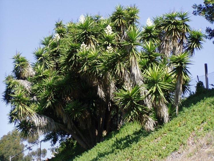 Boschetto yucca giganti