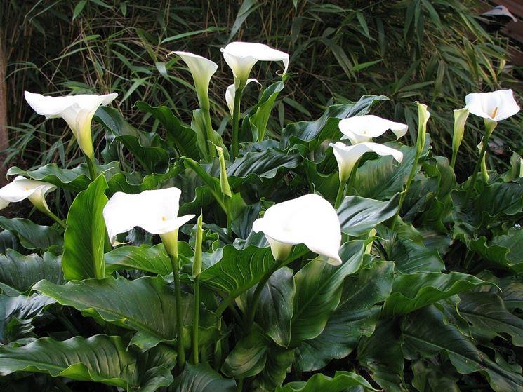 Zantedeschia fiore