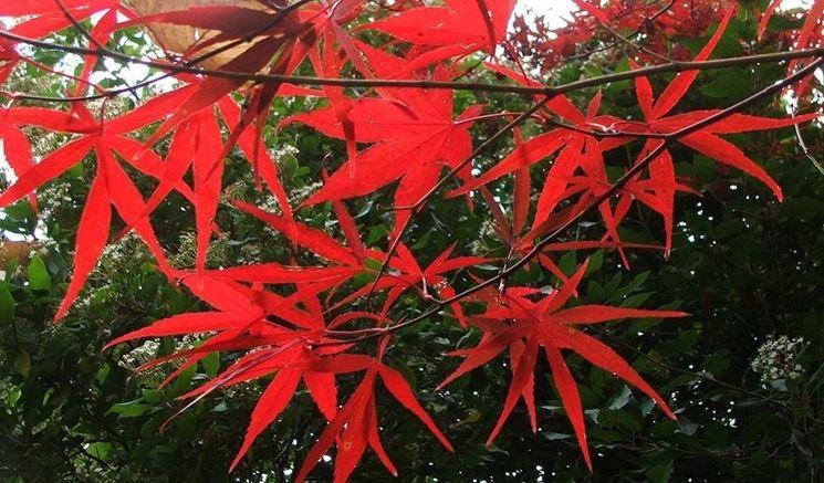 Acero palmato acer palmatum acer palmatum piante da for Acero rosso canadese prezzo