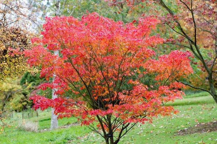 Acer palmatum crispum