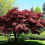 Acero palmato acer palmatum acer palmatum piante da - Piante sempreverdi da giardino resistenti al freddo ...