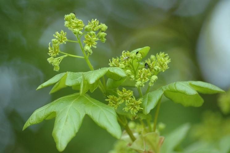 Acero campestre- semi