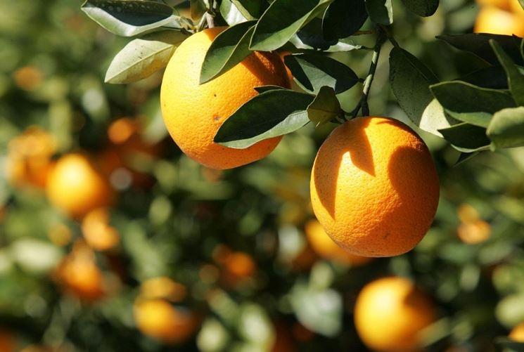Agrumi, arance