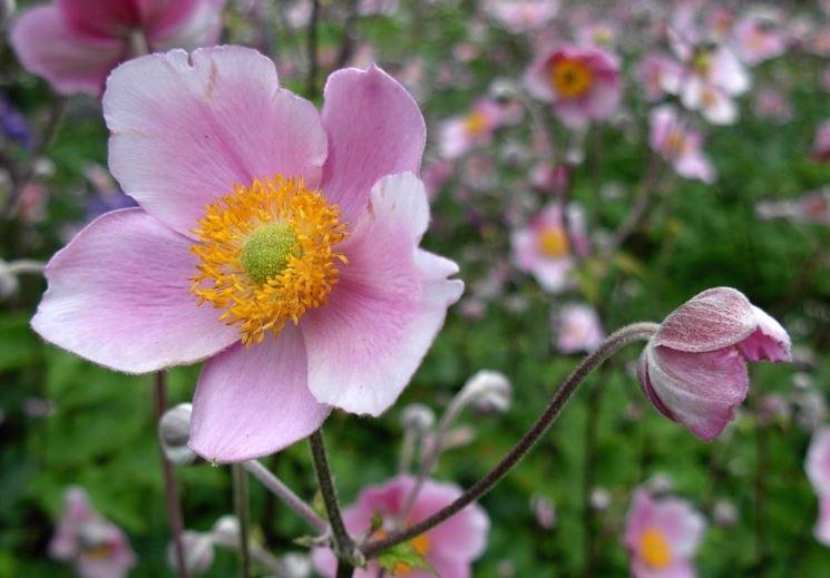 anemone japonica