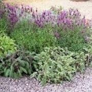 arbusti aromatici