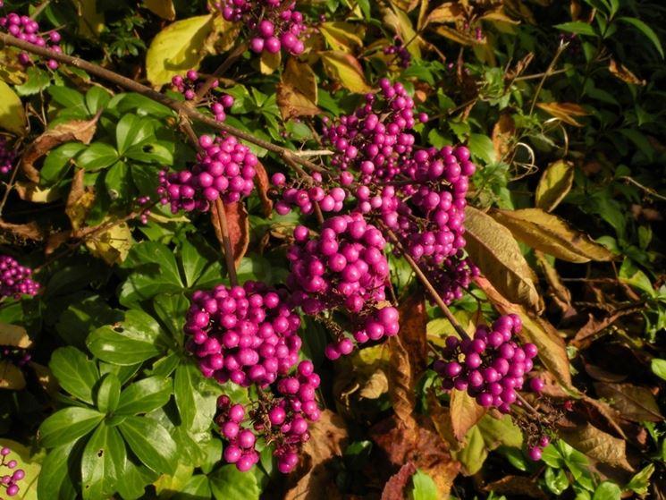 Bacche giardino piante da giardino bacche giardino for Pianta ornamentale con fiori a grappolo profumatissimi