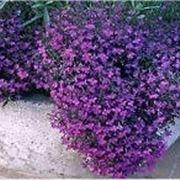 pianta fiori viola