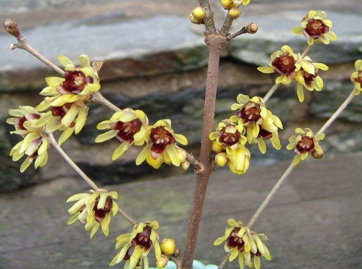 Chimonanthus praecox grandiflours